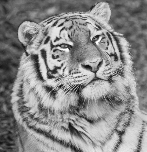 Tiger Portrait - Terry Stone