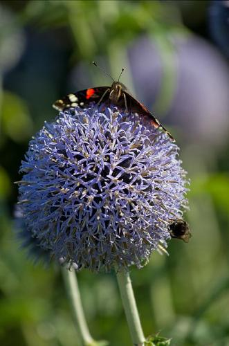 Red Admiral and Fly on allium - Vic Hainsworth