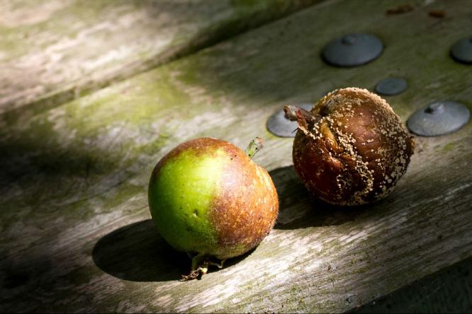 Rotting Apples - Vic Hainsworth